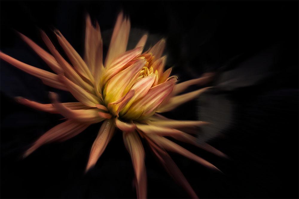 dahlia-flower-macro-fine-art-2